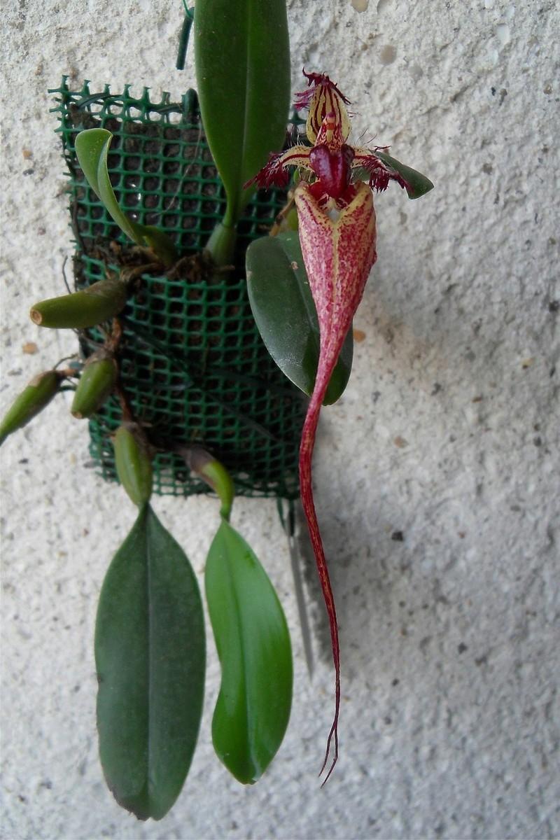 Bulbophyllum fascinator 129