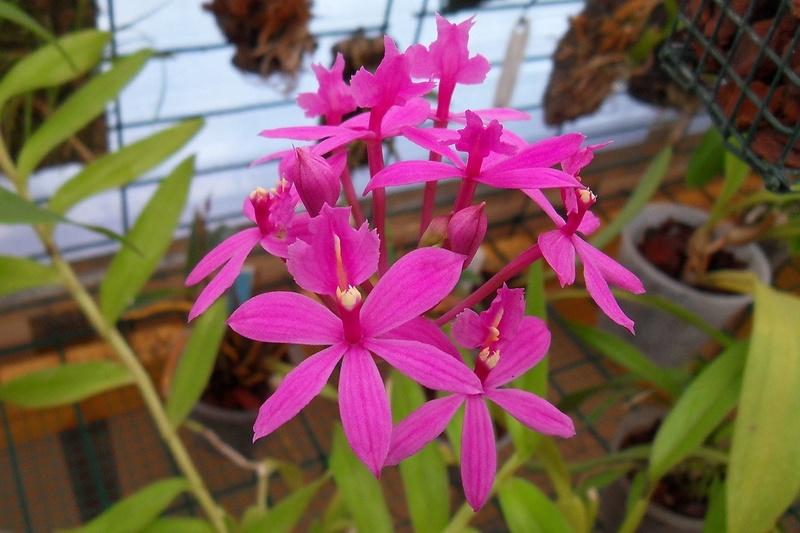 Epidendrum ibaguense 210