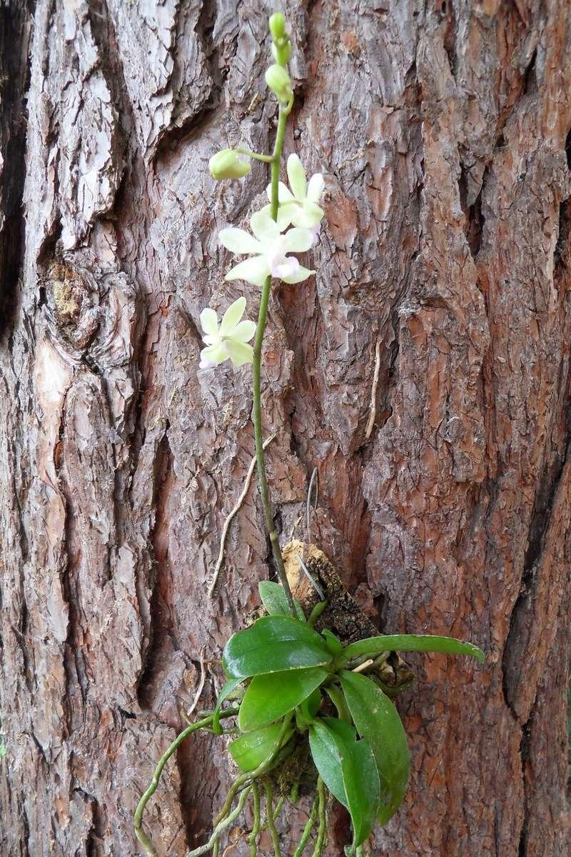 Hybride primaire de Phalaenopsis stobartiana ? 218