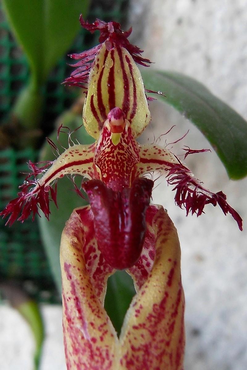 Bulbophyllum fascinator 223