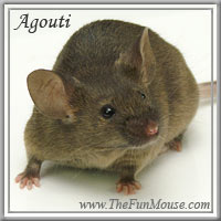 Varieties of Mice Agouti11