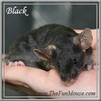 Varieties of Mice Blacks10