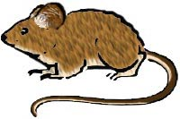 House Mouse Facts & Other Species of Mice Deermo10