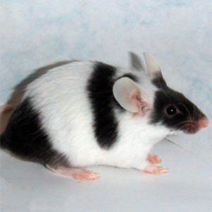 Varieties of Mice Double10
