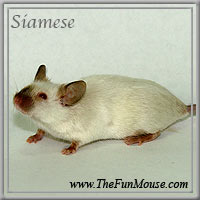 Varieties of Mice Siames10