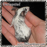 Varieties of Mice Varieg10