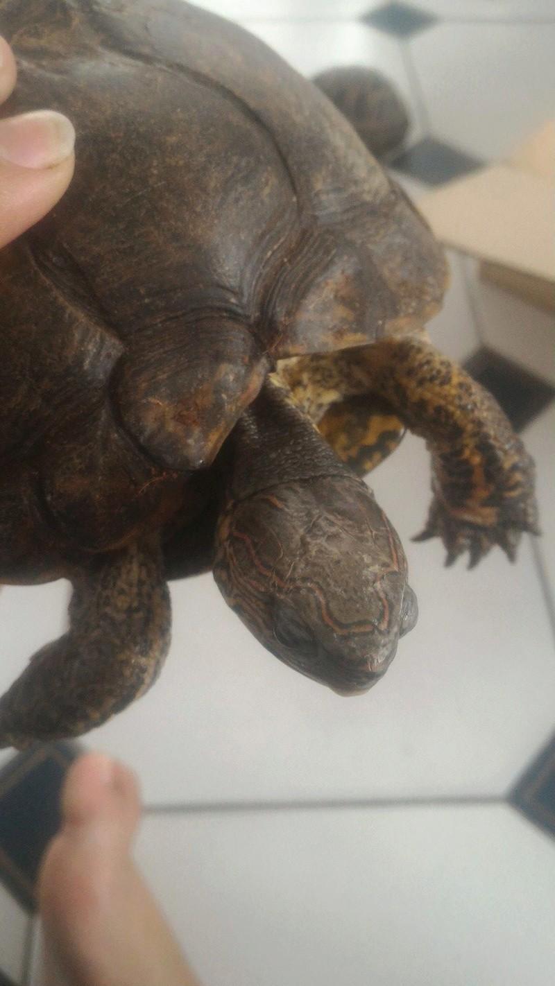 Identification et sexage de 3 tortues 20706310