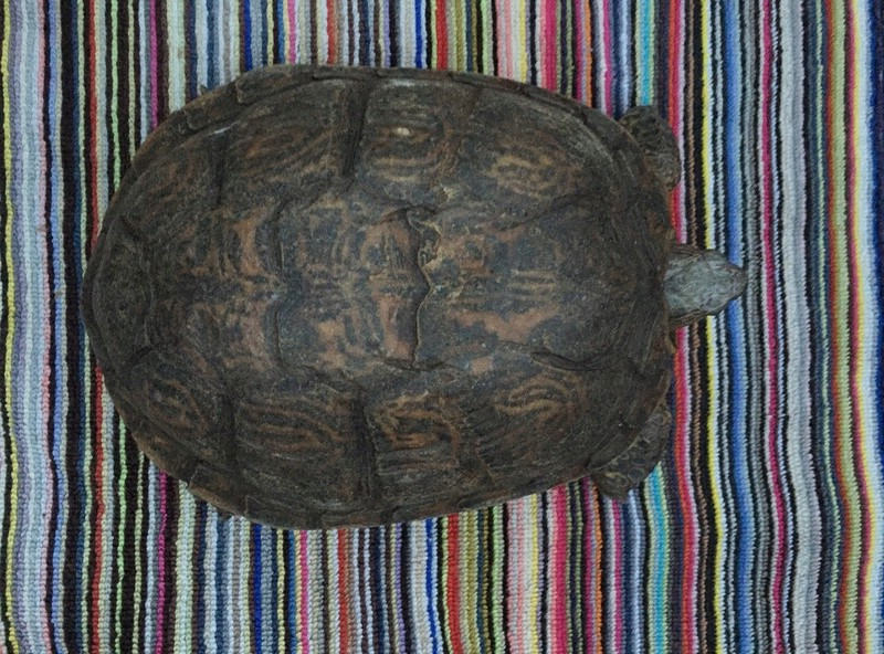 Identification et sexage de 3 tortues Img_5915