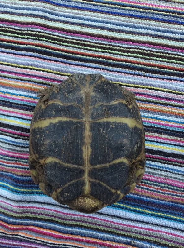 Identification et sexage de 3 tortues Img_5919