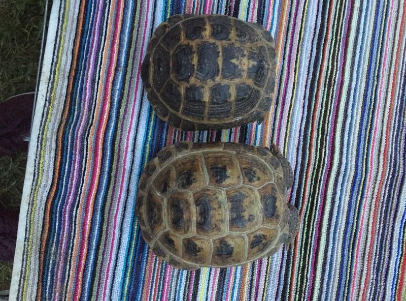 Identification et sexage de 3 tortues Img_5920