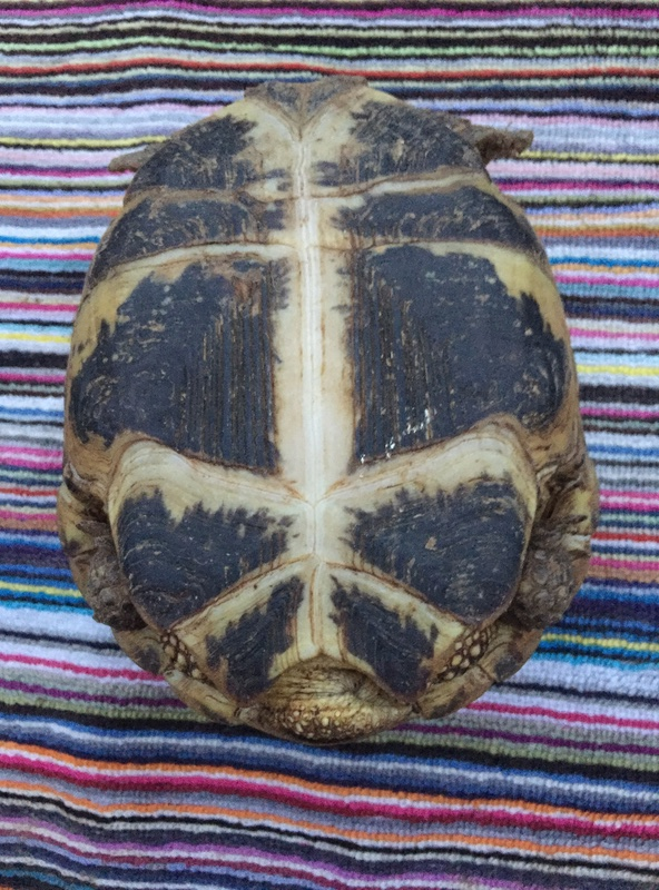 Identification et sexage de 3 tortues Img_5923
