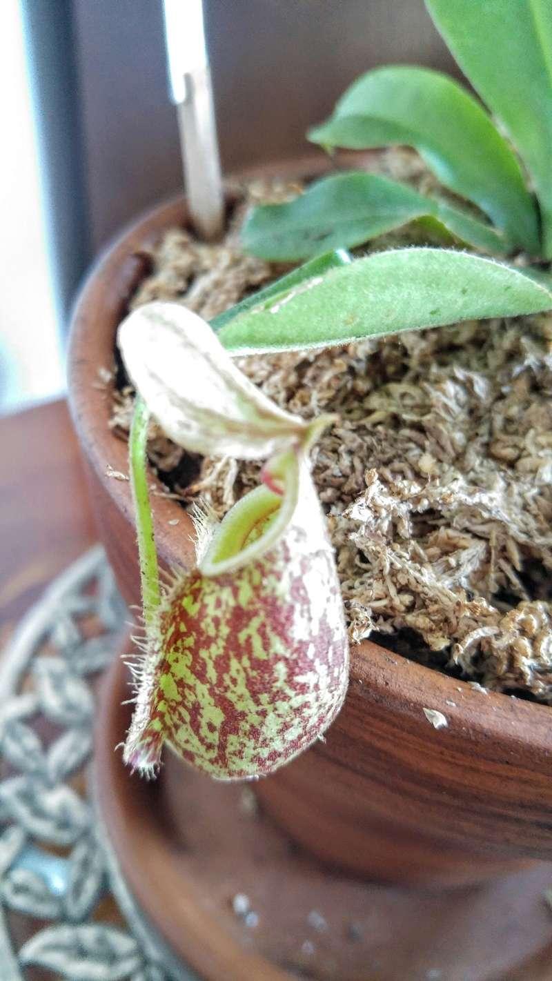 Mais qui a la vraie Nepenthes Sanguinea ?! 20170815