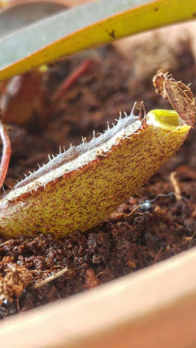 Mais qui a la vraie Nepenthes Sanguinea ?! 20170817