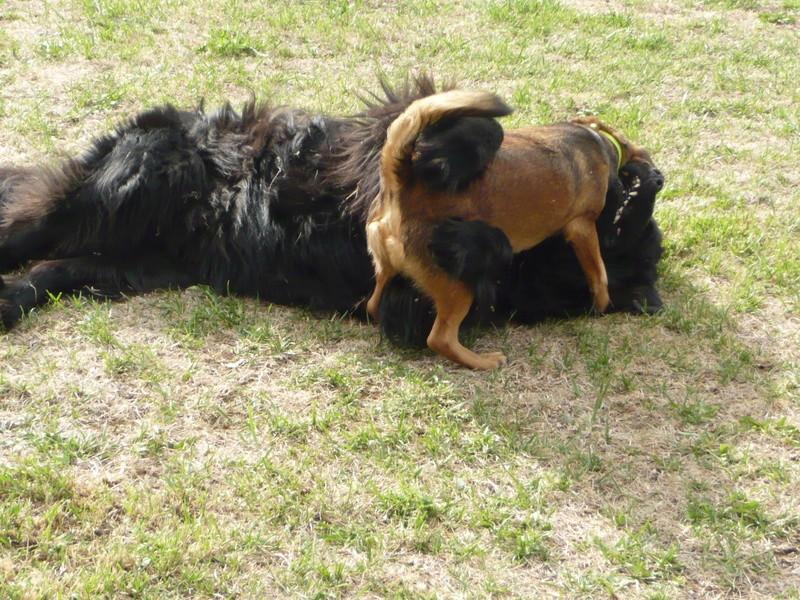 Notre chienne Louna.......60 kg P1080013