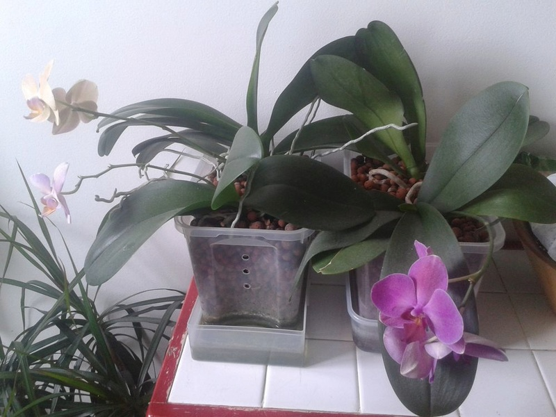 Phalaenopsis en hydroculture  20170716