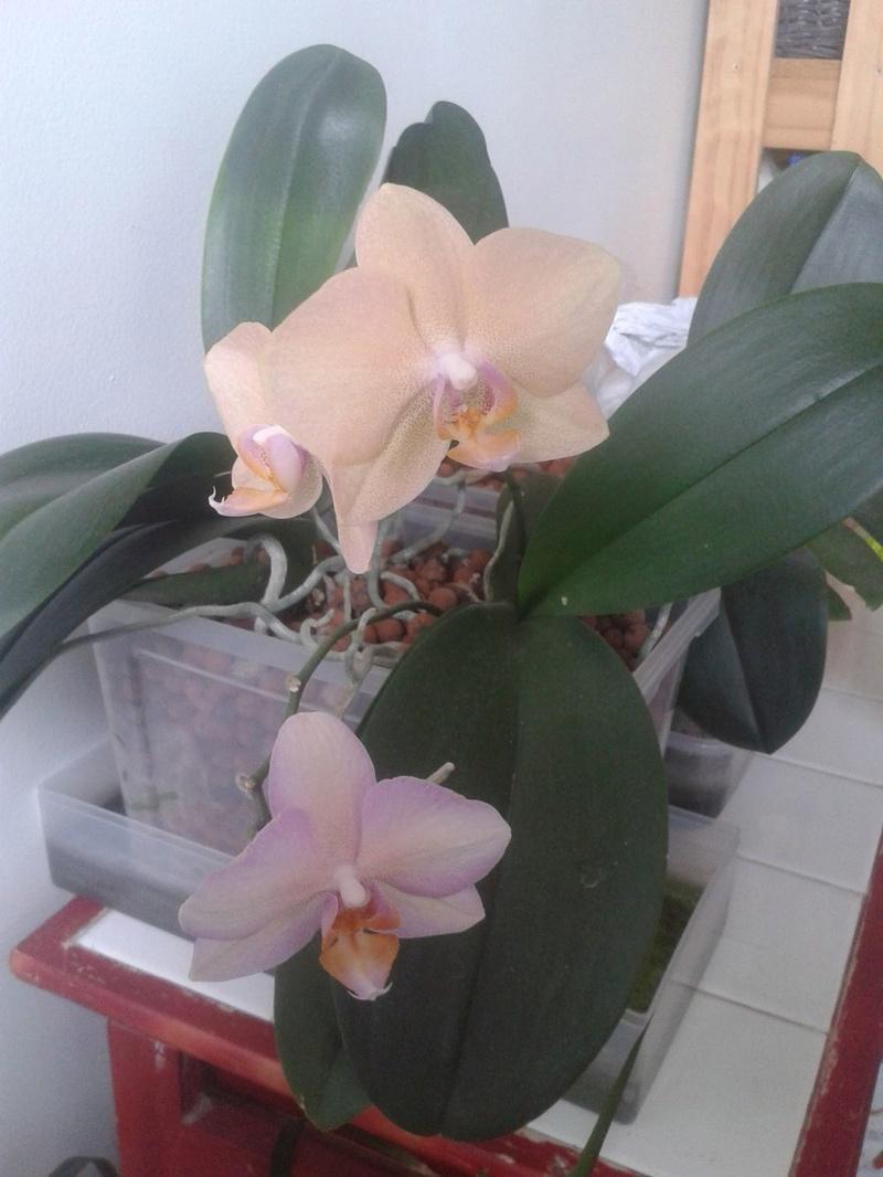 Phalaenopsis en hydroculture  20170718