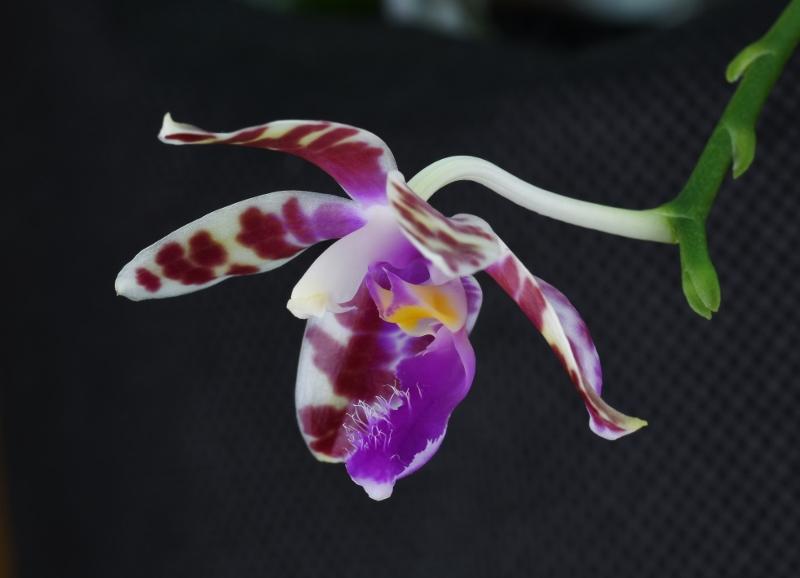Phalaenopsis mariae x pulchra (Alamp) Nr_24810