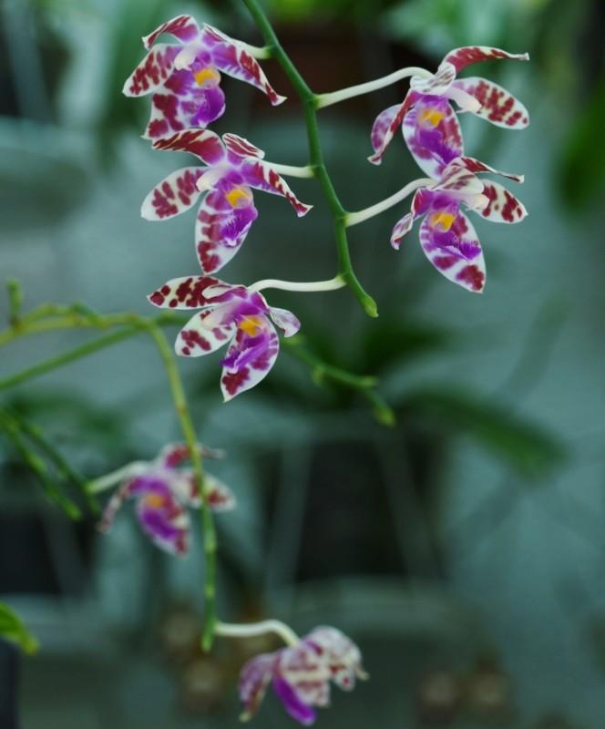 Phalaenopsis mariae x pulchra (Alamp) Nr_24811