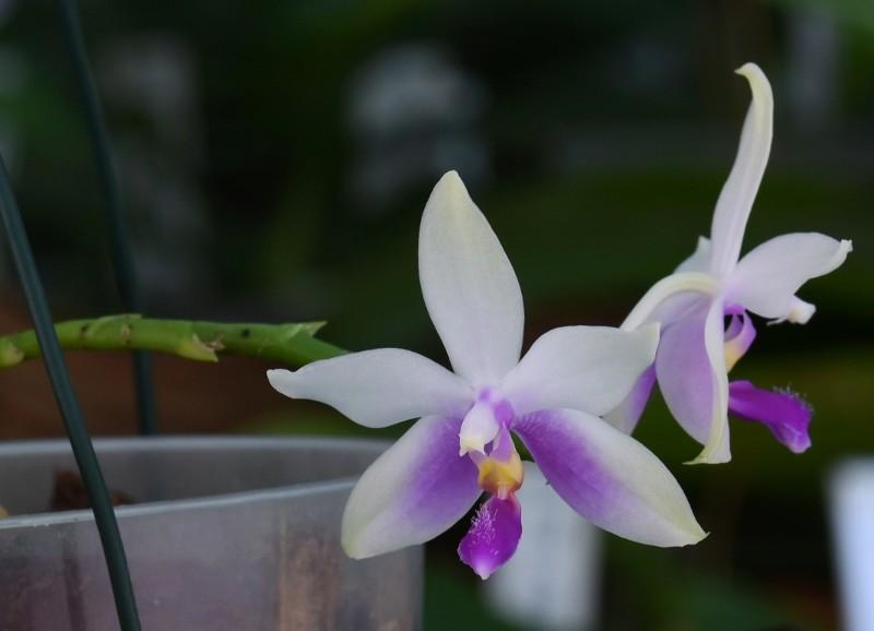 Phalaenopsis fimbriata x violacea 'Malaysia' Nr_40610