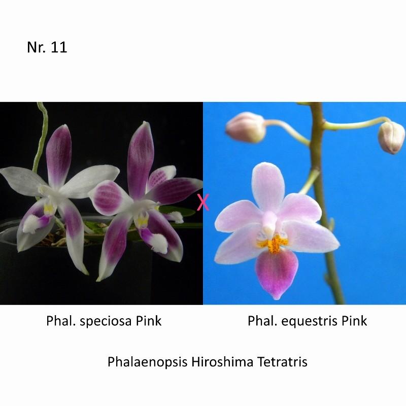 Phalaenopsis speciosa x equestris (Hiroshima Tetratris) Nr_42310