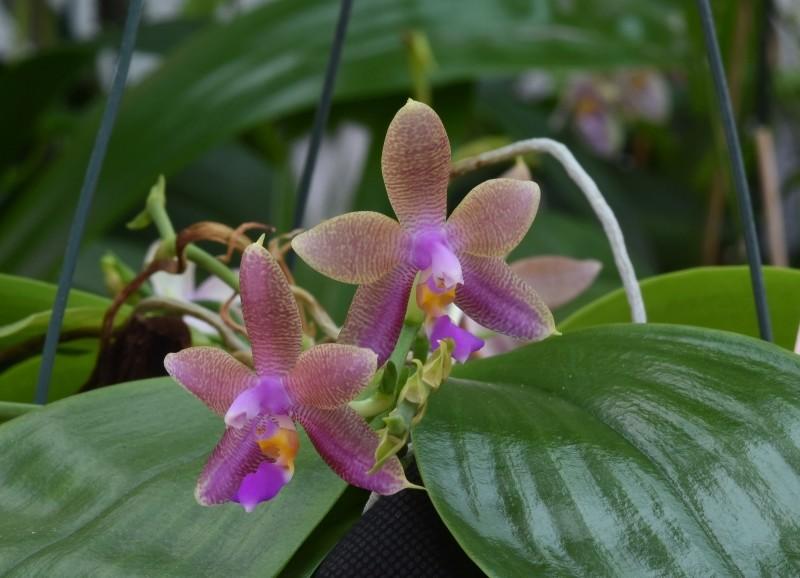 Phalaenopsis violacea x fasciata (Norman) Nr_46110