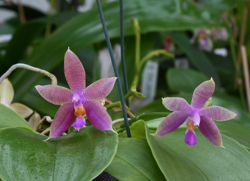 Phalaenopsis violacea x fasciata (Norman) Nr_46111