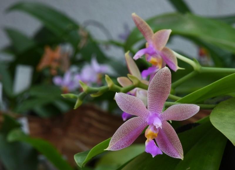Phalaenopsis violacea x fasciata (Norman) Nr_46112