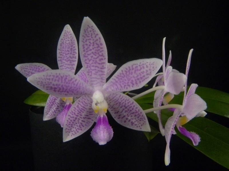 Phalaenopsis speciosa x equestris (Hiroshima Tetratris) Nr_65210