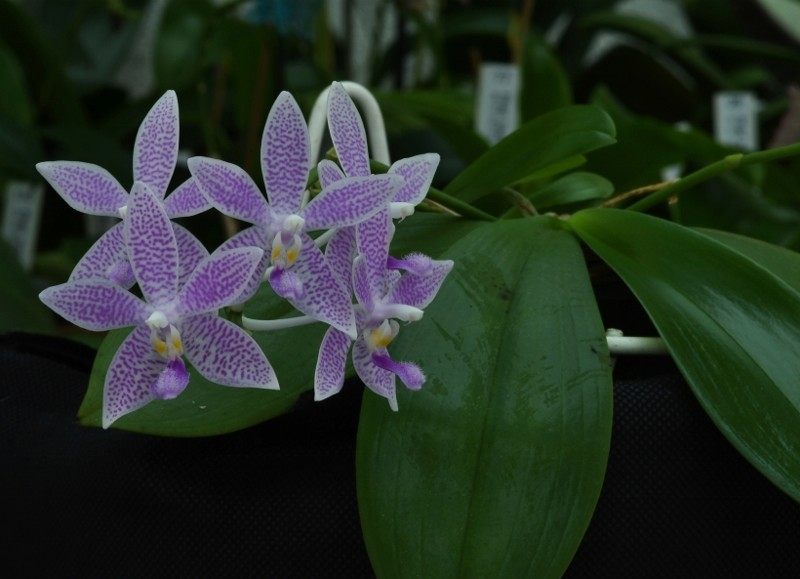 Phalaenopsis speciosa x equestris (Hiroshima Tetratris) Nr_65211