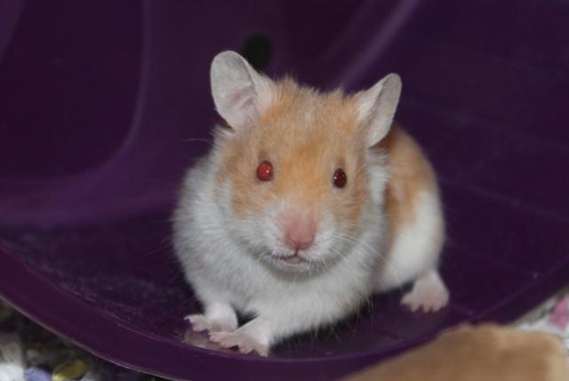 Rest in peace, sweet Blue Hamste10