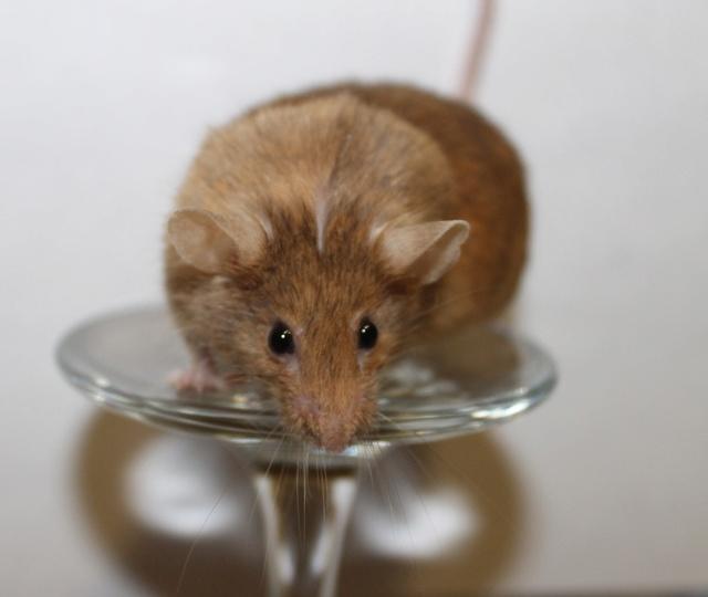 Mice on a wine glass Img_6821