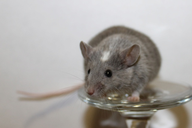Mice on a wine glass Img_6822