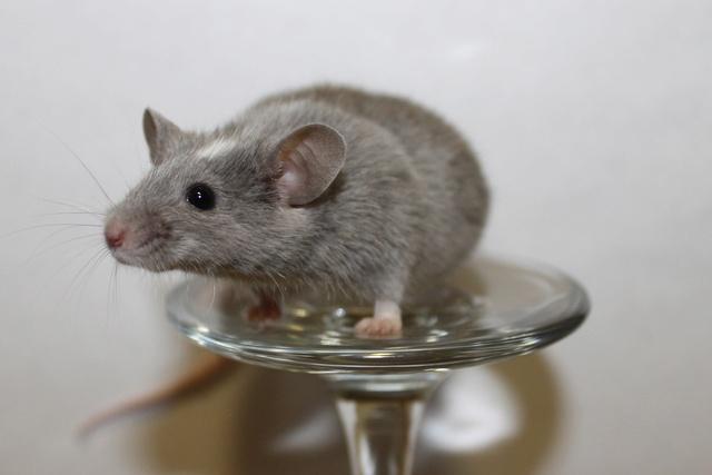 Mice on a wine glass Img_6825