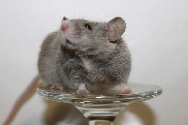 Mice on a wine glass Img_6910