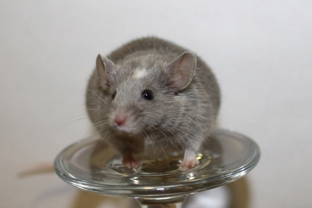 Mice on a wine glass Img_6911