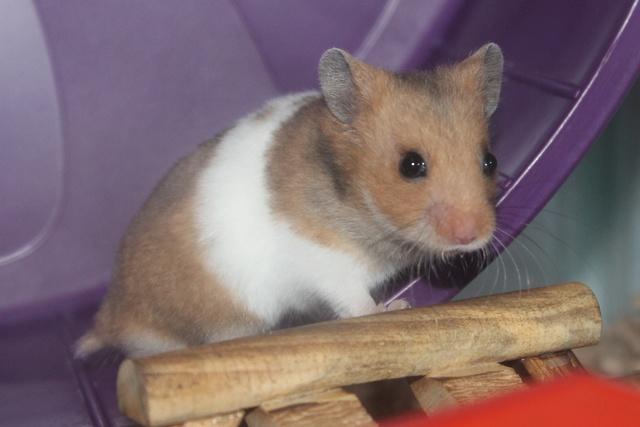 Meet my new hammy! Img_7910