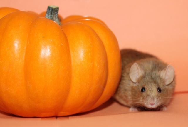 Pumpkin pics! Mouse_14