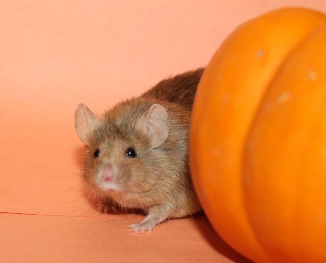 Pumpkin pics! Mouse_15