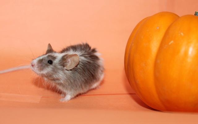 Pumpkin pics! Mouse_18