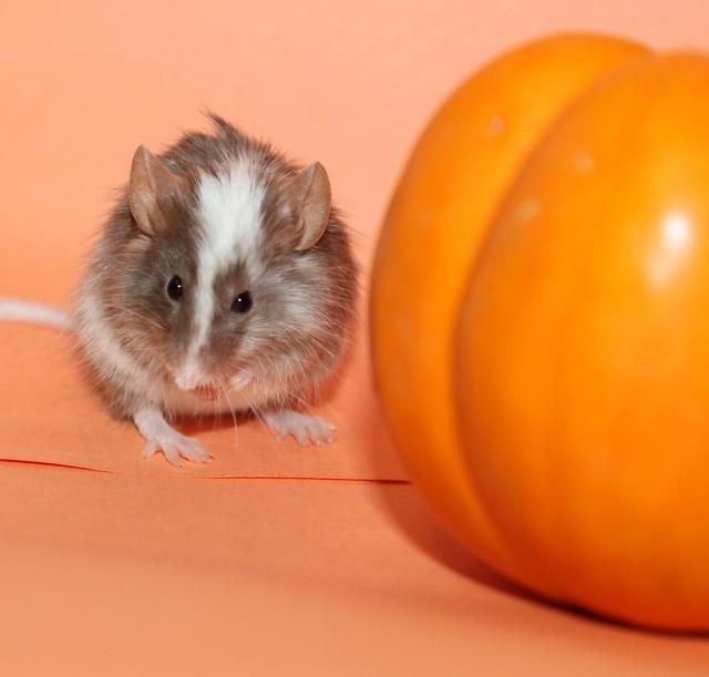 Pumpkin pics! Mouse_20
