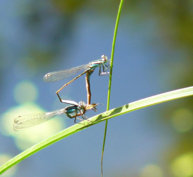 Ischnura elegans Leste_10