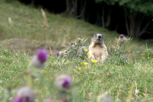 Le photographe de Dame Marmotte  Marmot10