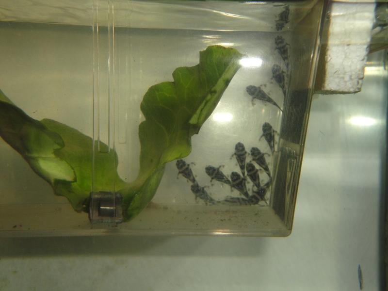 Mes reproduction d'hypancistrus zébra L46 5-21_012
