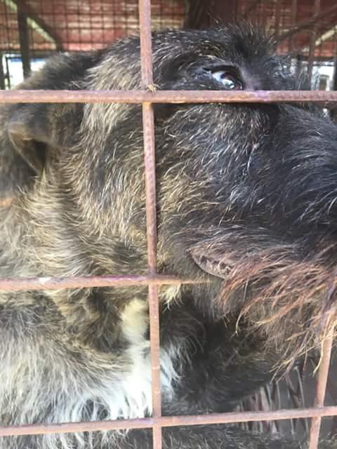 KHIRA F-X Irish wolfhound, née 2016, 38KG (ORASTIE) En pension (Départ41) Fb_i2063
