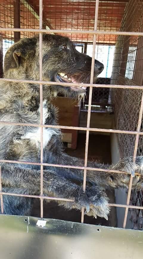 KHIRA F-X Irish wolfhound, née 2016, 38KG (ORASTIE) En pension (Départ41) Fb_i2065