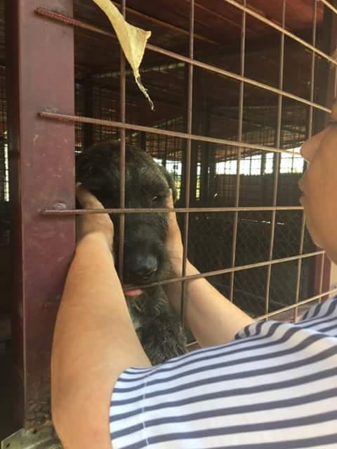 KHIRA F-X Irish wolfhound, née 2016, 38KG (ORASTIE) En pension (Départ41) Fb_i2067