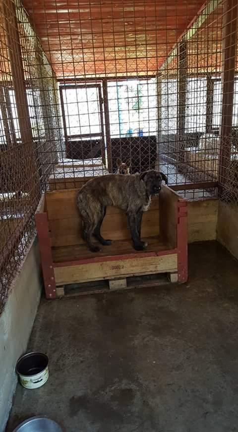 KHIRA F-X Irish wolfhound, née 2016, 38KG (ORASTIE) En pension (Départ41) Fb_i2069