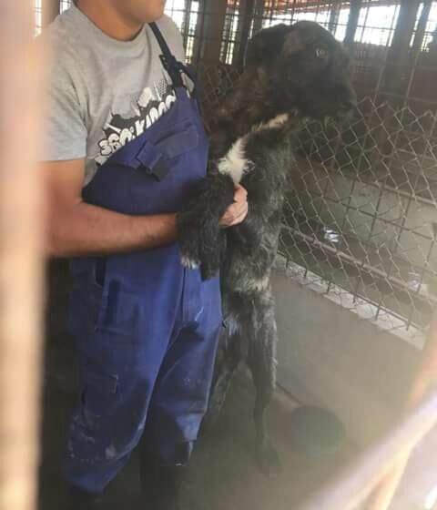 KHIRA F-X Irish wolfhound, née 2016, 38KG (ORASTIE) En pension (Départ41) Fb_i2071