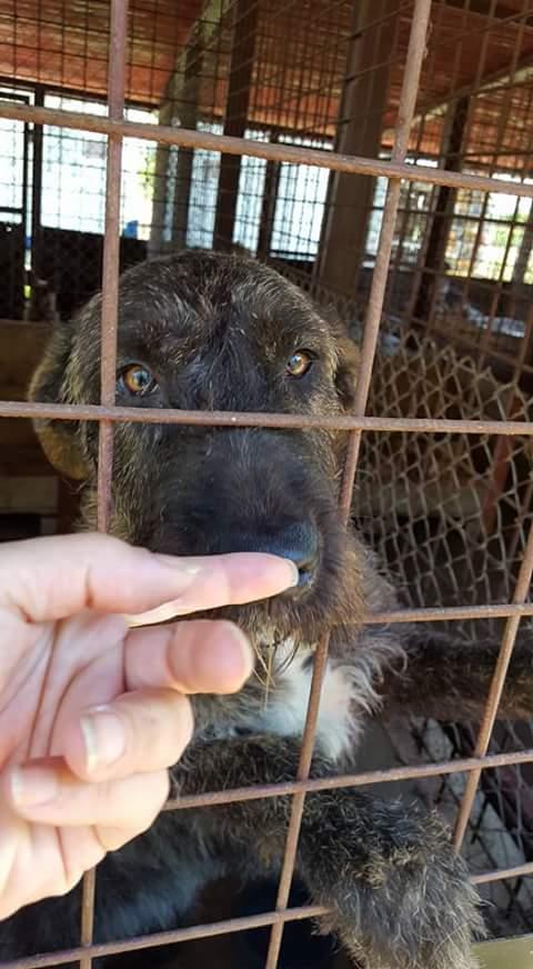 KHIRA F-X Irish wolfhound, née 2016, 38KG (ORASTIE) En pension (Départ41) Fb_i2073