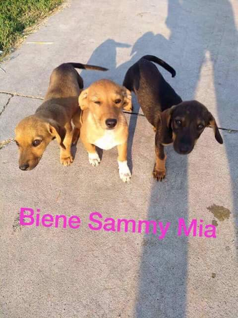 SAMMY , F-X, née 06/2017 (RUE ORASTIE )-ABANDON FERME DES POULETS-Adoptée via Refuge Pas si Bêtes - Fb_i2224